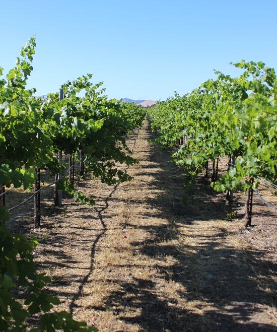 Concannon Vineyards (25)
