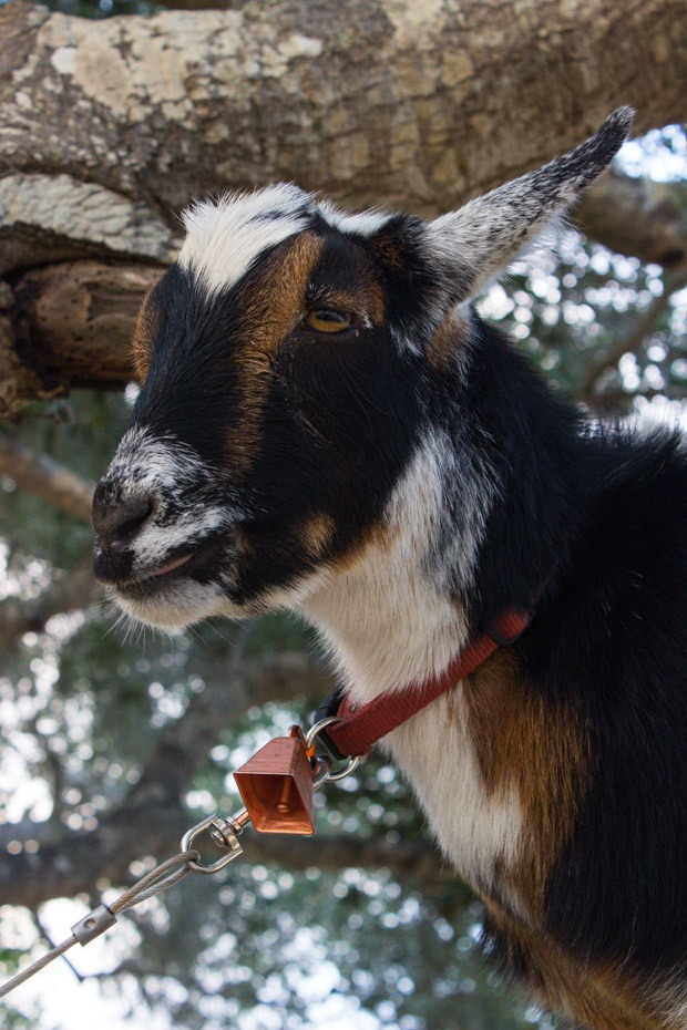 Carmel-Valley-Ranch-Goat-in-a-Tree_thumb.jpg