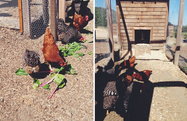 Carmel-Valley-Ranch-Hens_thumb.jpg