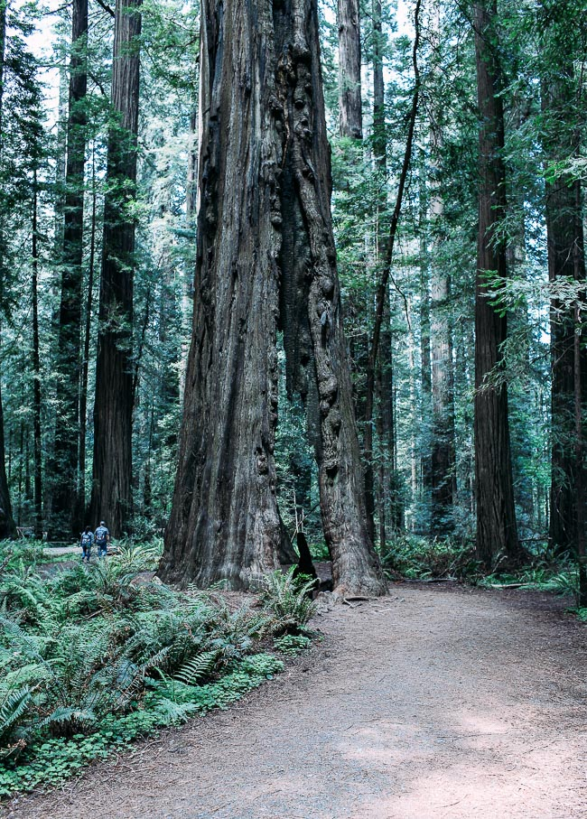 Road Trip from California to Oregon: where to eat, sleep and play | Avenue of the Giants #travel