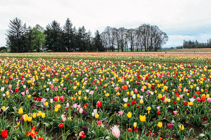 Wine Tasting in Willamette Valley | Tulip Festival